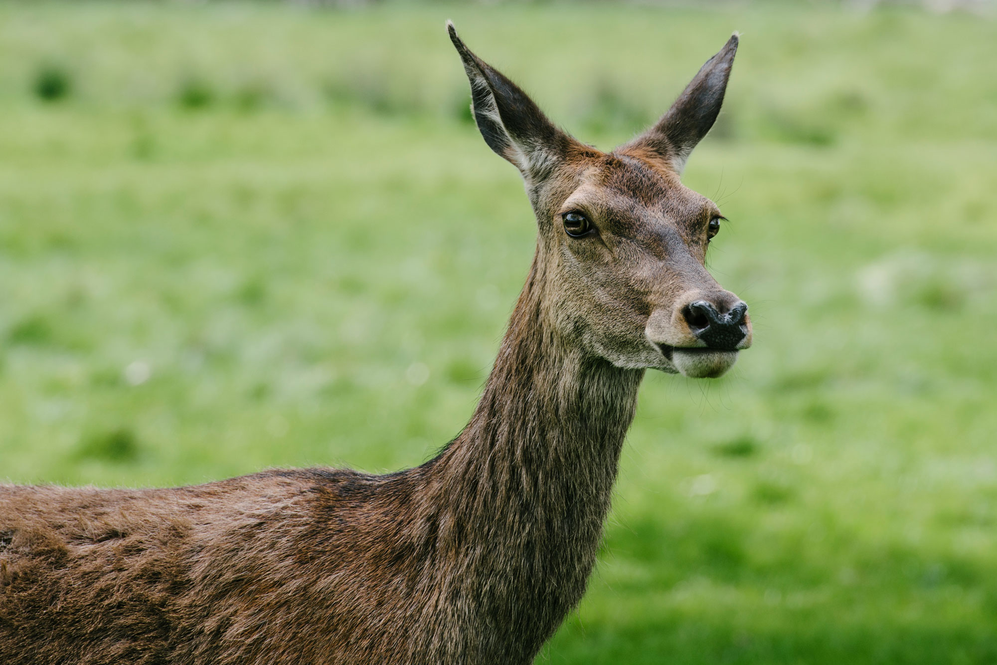 Deer-RichmondPark-Wildlife-AlbertoPiroddiPhotography