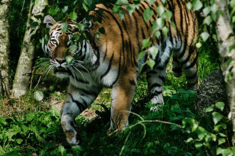 Tiger - Tierpark Hagenbeck, Hamburg, Wildlife - Alberto Piroddi Photography