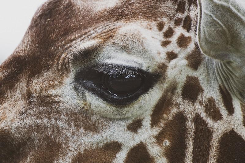 Giraffe [Detail] ZSL Whipsnade Zoo